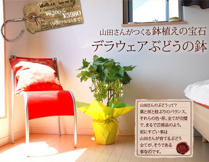 ぶどうの鉢植えギフト