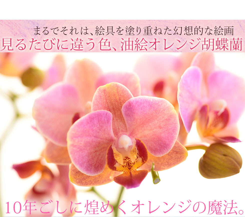 母の日 胡蝶蘭 プレゼント