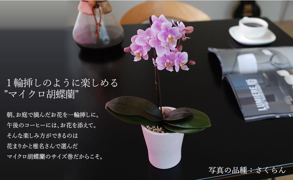 胡蝶ラン 敬老の日 プレゼント