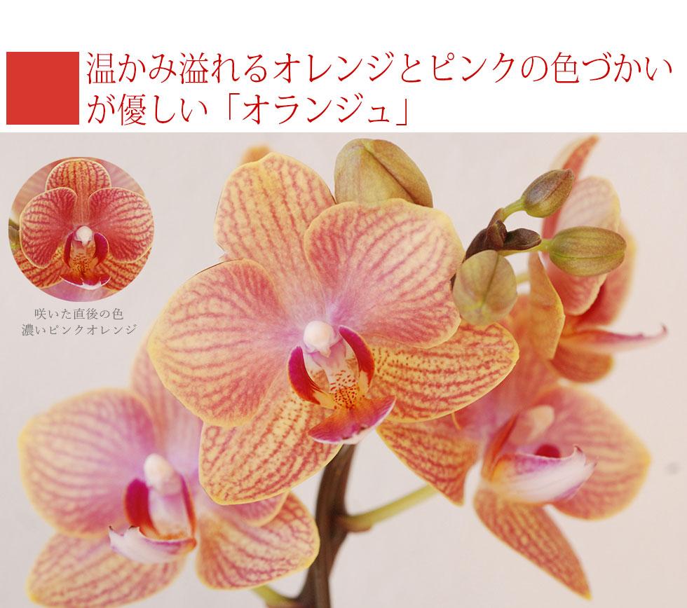 蘭 鉢植え