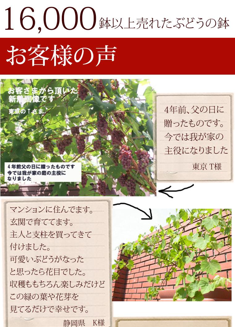 葡萄 鉢植え