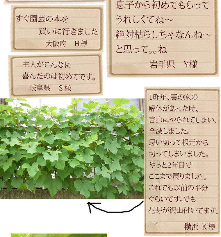 ブドウ 鉢植え 父の日