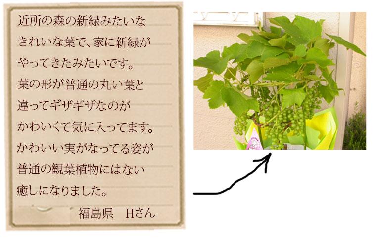 山田さんのぶどう 鉢植え 父の日