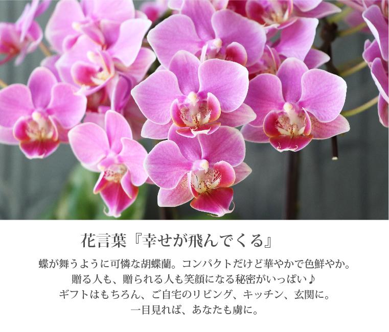 胡蝶蘭 ギフト 『椎名洋ラン園の選べるマイクロ胡蝶蘭』 花鉢 誕生日 ...