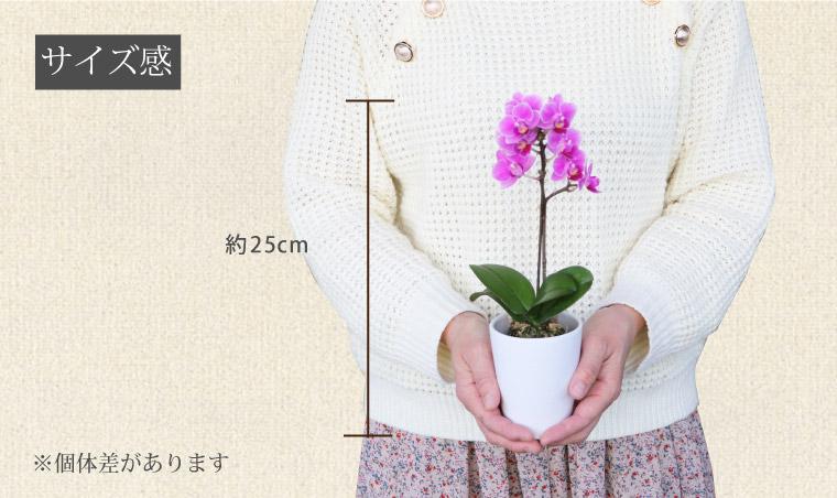 マイクロ胡蝶蘭